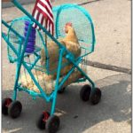 How To Build A Chicken Stroller