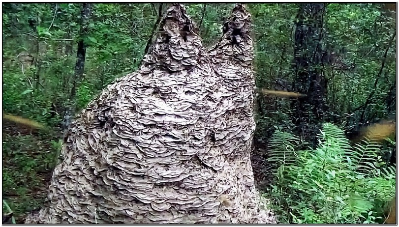 Giant Yellow Jacket Nest