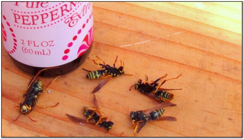 How To Get Rid Of Yellow Jackets Naturally